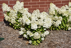 Bobo® Hydrangea (Hydrangea paniculata 'ILVOBO') at Stauffers Of Kissel Hill