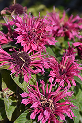 Cranberry Lace Beebalm (Monarda 'Cranberry Lace') at Stauffers Of Kissel Hill