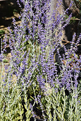 Little Spire Russian Sage (Perovskia 'Little Spire') at Stauffers Of Kissel Hill