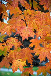 Legacy Sugar Maple (Acer saccharum 'Legacy') at Stauffers Of Kissel Hill