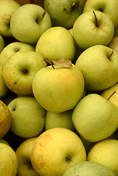 Golden Delicious Apple (Malus 'Golden Delicious') at Stauffers Of Kissel Hill