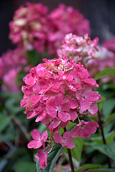 Fire Light® Hydrangea (Hydrangea paniculata 'SMHPFL') at Stauffers Of Kissel Hill