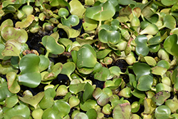 Water Hyacinth (Eichhornia crassipes) at Stauffers Of Kissel Hill