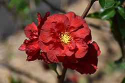 Double Take Scarlet™ Flowering Quince (Chaenomeles speciosa 'Double Take Scarlet Storm') at Stauffers Of Kissel Hill