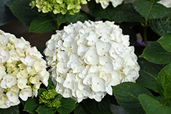 Blushing Bride® Hydrangea (Hydrangea macrophylla 'Blushing Bride') at Stauffers Of Kissel Hill