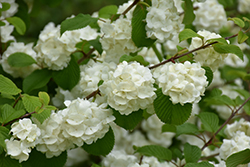 Popcorn Doublefile Viburnum (Viburnum plicatum 'Popcorn') at Stauffers Of Kissel Hill