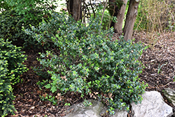 Blue Prince Meserve Holly (Ilex x meserveae 'Blue Prince') at Stauffers Of Kissel Hill