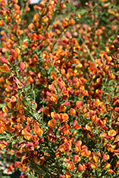 Lena Scotch Broom (Cytisus 'Lena') at Stauffers Of Kissel Hill