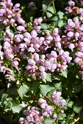 Pink Pewter Spotted Dead Nettle (Lamium maculatum 'Pink Pewter') at Stauffers Of Kissel Hill