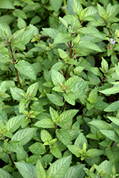 Chocolate Mint (Mentha x piperita 'Chocolate') at Stauffers Of Kissel Hill