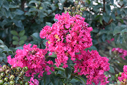 Princess Kylie™ Crapemyrtle (Lagerstroemia 'GA 0803') at Stauffers Of Kissel Hill