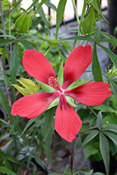 Scarlet Rose Mallow (Hibiscus coccineus) at Stauffers Of Kissel Hill
