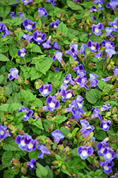 Catalina Midnight Blue Torenia (Torenia 'Catalina Midnight Blue') at Stauffers Of Kissel Hill