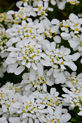 Tahoe Candytuft (Iberis sempervirens 'Tahoe') at Stauffers Of Kissel Hill