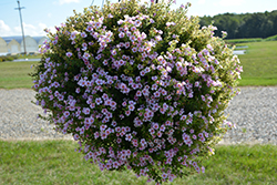 Snowstorm® Pink Bacopa (Sutera cordata 'Snowstorm Pink') at Stauffers Of Kissel Hill