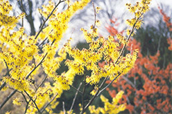 Arnold Promise Witchhazel (Hamamelis x intermedia 'Arnold Promise') at Stauffers Of Kissel Hill