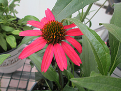 Glowing Dream™ Coneflower (Echinacea 'Glowing Dream') at Stauffers Of Kissel Hill