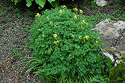 Golden Corydalis (Corydalis lutea) at Stauffers Of Kissel Hill