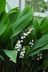 Lily-Of-The-Valley (Convallaria majalis) at Stauffers Of Kissel Hill