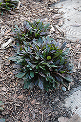 Chocolate Chip Bugleweed (Ajuga reptans 'Chocolate Chip') at Stauffers Of Kissel Hill