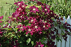 Warsaw Nike Clematis (Clematis 'Warsaw Nike') at Stauffers Of Kissel Hill