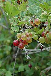 Pixwell Gooseberry (Ribes 'Pixwell') at Stauffers Of Kissel Hill