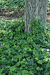 Baltic Ivy (Hedera helix 'Baltica') at Stauffers Of Kissel Hill