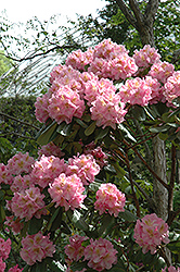 Scintillation Rhododendron (Rhododendron 'Scintillation') at Stauffers Of Kissel Hill