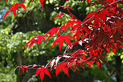 Emperor I Japanese Maple (Acer palmatum 'Wolff') at Stauffers Of Kissel Hill
