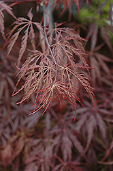 Red Select Japanese Maple (Acer palmatum 'Red Select') at Stauffers Of Kissel Hill