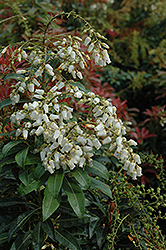 Mountain Fire Japanese Pieris (Pieris japonica 'Mountain Fire') at Stauffers Of Kissel Hill