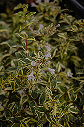 Twist of Lime™ Glossy Abelia (Abelia x grandiflora 'Hopley's') at Stauffers Of Kissel Hill