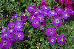 Axcent™ Violet With Eye Rock Cress (Aubrieta 'Axcent Violet With Eye') at Stauffers Of Kissel Hill