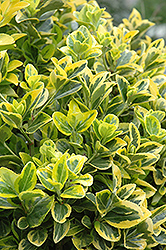 Gold Variegated Japanese Euonymus (Euonymus japonicus 'Aureomarginatus') at Stauffers Of Kissel Hill