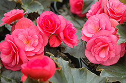 Dragone Begonia (Begonia 'Dragone') at Stauffers Of Kissel Hill