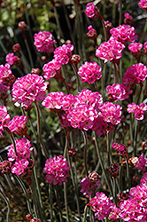 Red-leaved Sea Thrift (Armeria maritima 'Rubrifolia') at Stauffers Of Kissel Hill