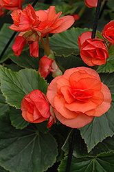 Solenia® Orange Begonia (Begonia 'Solenia Orange') at Stauffers Of Kissel Hill