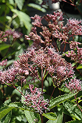 Phantom Joe Pye Weed (Eupatorium maculatum 'Phantom') at Stauffers Of Kissel Hill