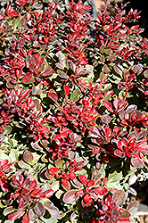 Bagatelle Japanese Barberry (Berberis thunbergii 'Bagatelle') at Stauffers Of Kissel Hill