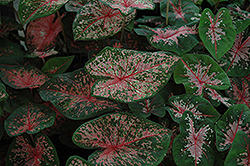 Pink Beauty Caladium (Caladium 'Pink Beauty') at Stauffers Of Kissel Hill