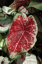 Raspberry Moon Caladium (Caladium 'Raspberry Moon') at Stauffers Of Kissel Hill