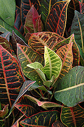Variegated Croton (Codiaeum variegatum 'var. pictum') at Stauffers Of Kissel Hill