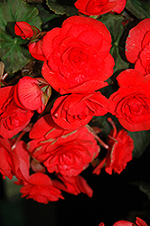 Solenia® Red Begonia (Begonia 'Solenia Red') at Stauffers Of Kissel Hill
