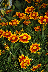 Lil' Bang™ Daybreak Tickseed (Coreopsis 'Daybreak') at Stauffers Of Kissel Hill