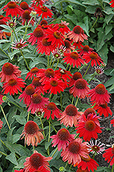 Sombrero® Salsa Red Coneflower (Echinacea 'Balsomsed') at Stauffers Of Kissel Hill