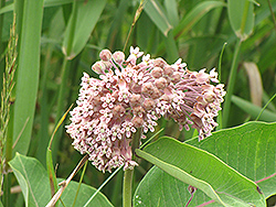 Common Milkweed (Asclepias syriaca) at Stauffers Of Kissel Hill