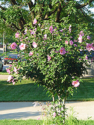 Aphrodite Rose of Sharon (Hibiscus syriacus 'Aphrodite') at Stauffers Of Kissel Hill