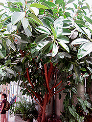 Rubber Tree (Ficus elastica) at Stauffers Of Kissel Hill