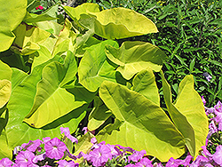 Royal Hawaiian® Maui Gold Elephant Ear (Colocasia esculenta 'Maui Gold') at Stauffers Of Kissel Hill