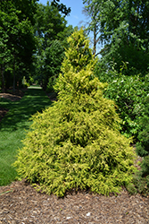 Golden Mop Falsecypress (Chamaecyparis pisifera 'Golden Mop') at Stauffers Of Kissel Hill